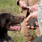 Toscane, la chasse aux truffes est ouverte !