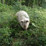 Le cochon à l'honneur