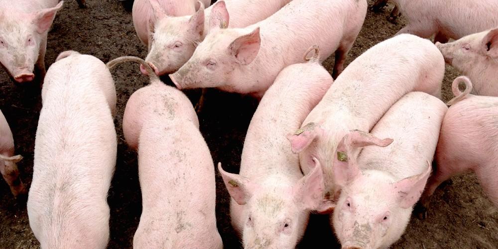 Travail de cochon au Manoir