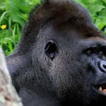 Ouganda, dans la Forêt impénétrable !