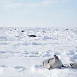 A la rencontre des blanchons du Québec