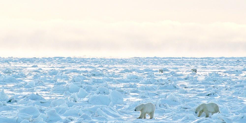 Chez les ours blancs de la Baie d'Hudson